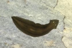 Dugesia gonocephala k